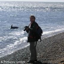 Eine Schule Schwertwale zeigt einem Kalb, wie man an den Strand und wieder zurück ins Wasser gelangt, um erfolgreich zu jagen.
