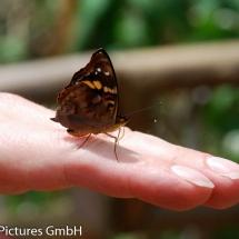 zutrauliche Schmetterlinge